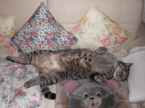 Katze leckt sich kahl, Katze leckt sich Fell aus, Katze beißt sich ins Fell