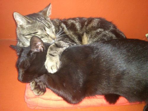 Katzenpsychologin: Katzenzusammenführung, Homöopathie, Bachblüten, Katzen streiten sich